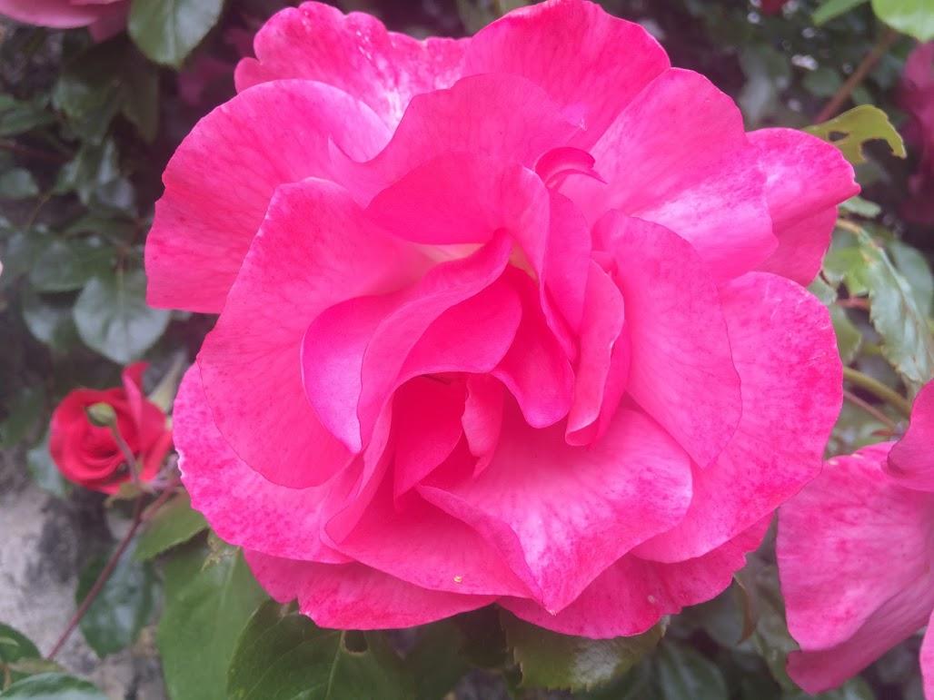 Rosas de mayo en la casa de campo Florence Villa Violetta