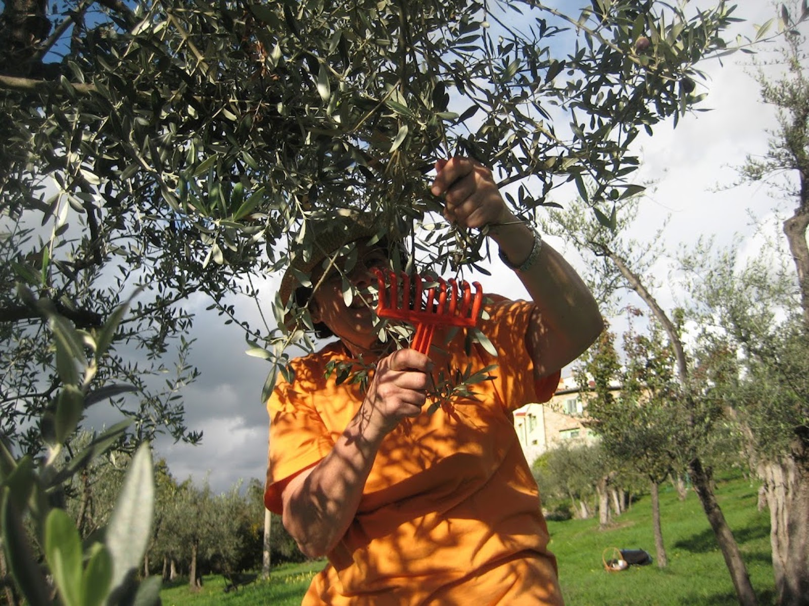 picking olives in Tuscany