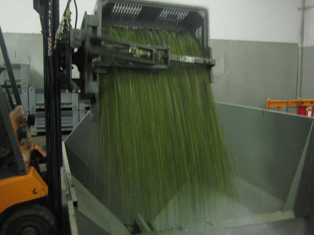 le processus de pressage de l'huile d'olive, Italie