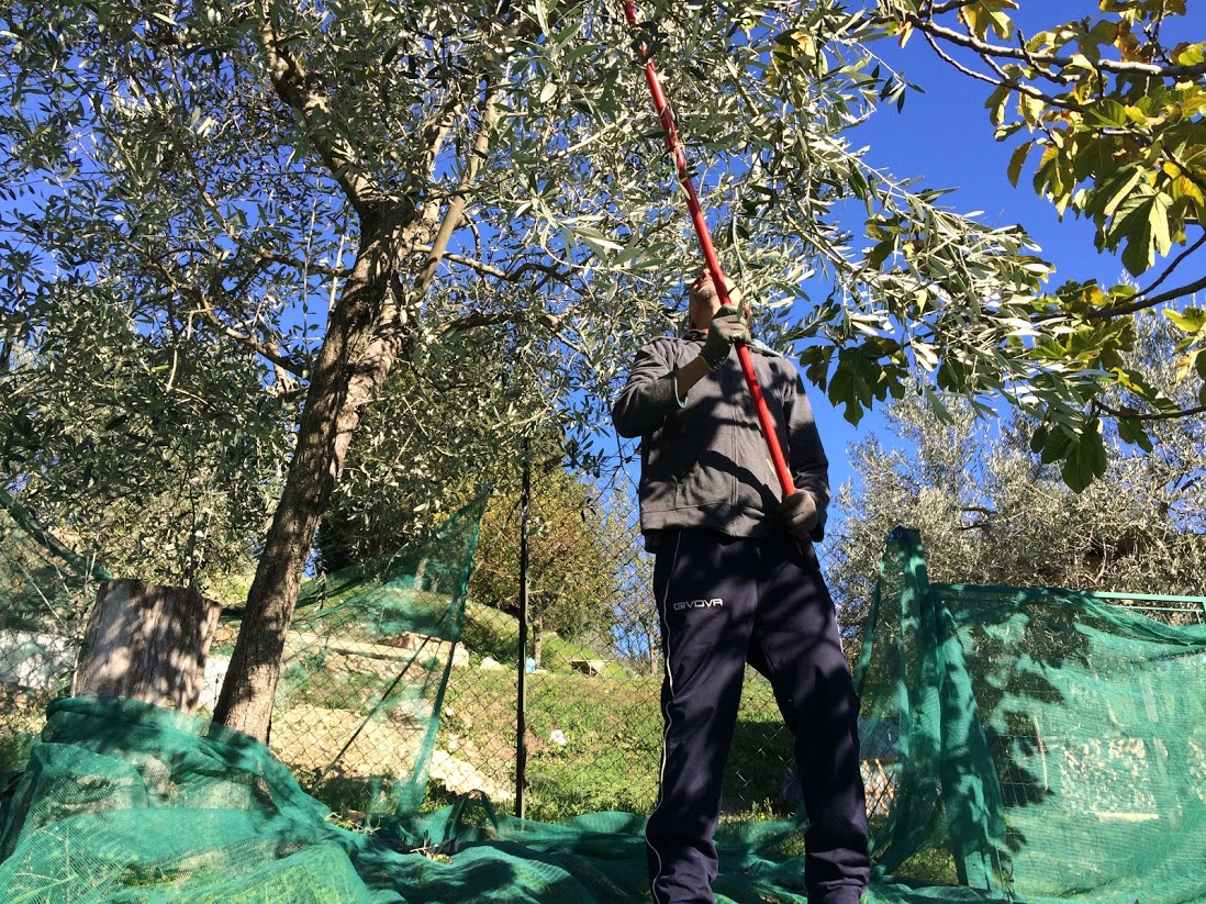 récolte olives manuelle à Florence Villa Violetta