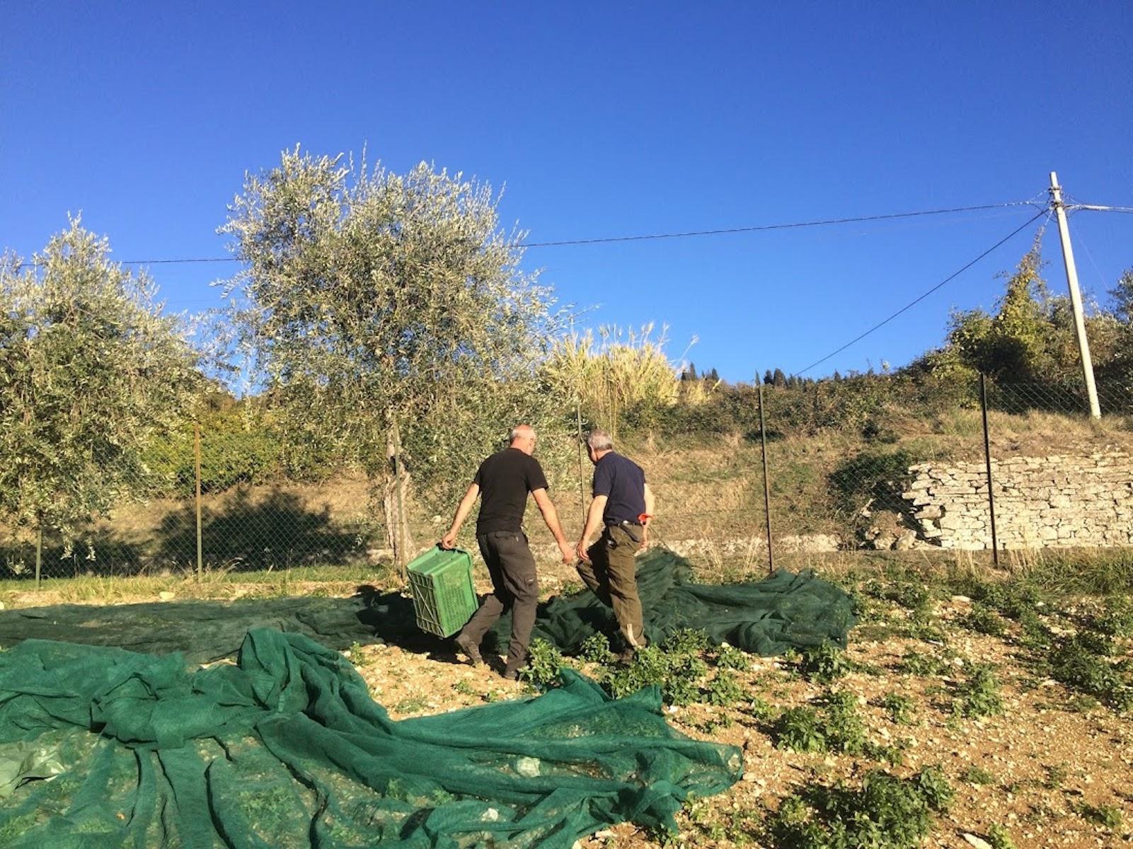 les filets pour récolter les olive à Florence Villa Violetta