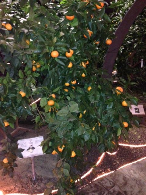 A variety of citrus plant in Oscar Tintori's Hesperidarium